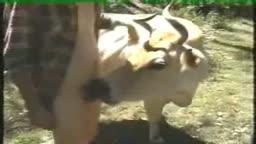 Ragazzo si diverte con la mucca